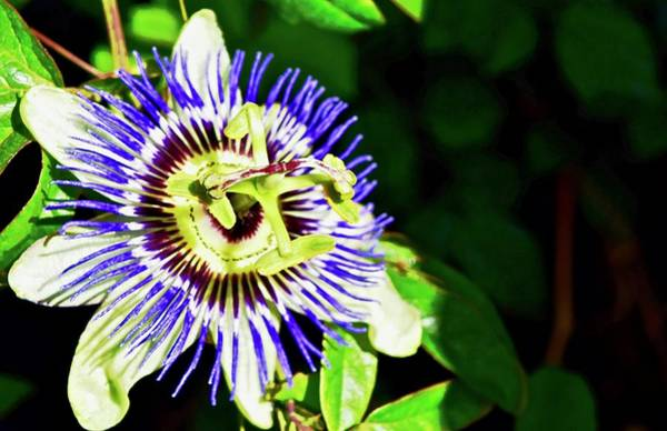 Photograph - Passion Flower by Lynda Anne Williams