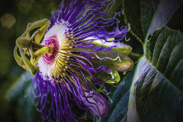 Painting - Passion Flower Profile by Barry Jones