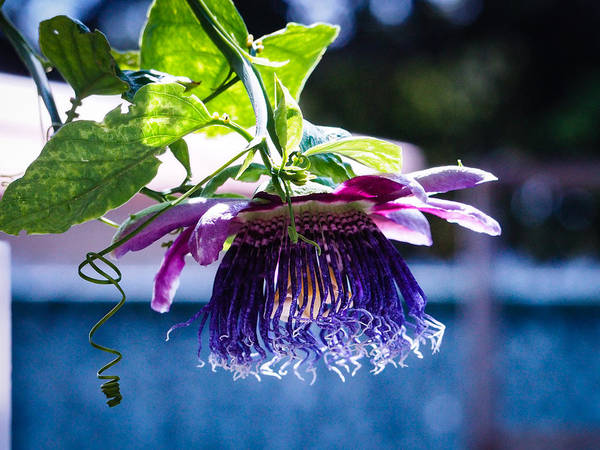 Photograph - Passion Flower by Robin Zygelman