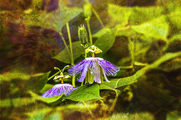 Photograph - Passion Flowers Wild by Barry Jones