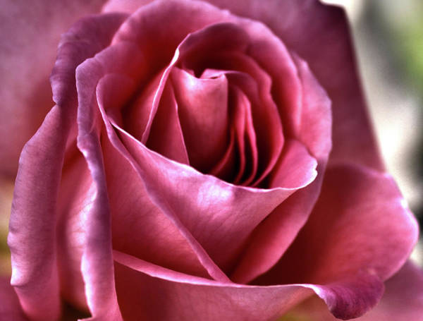 Purple Rose Digital Art - Passionate by Margaret Hormann Bfa