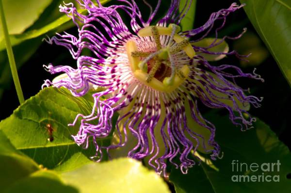 Photograph - Passionflower by Robyn King