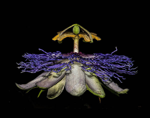 Photograph - Passionfruit by Pete Rems