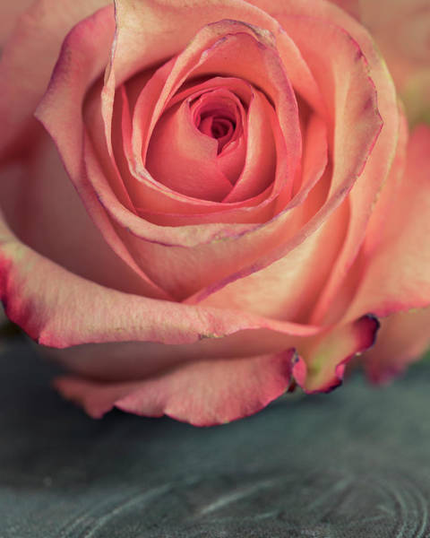 Wall Art - Photograph - Pastel Pink Rose by Jaroslaw Blaminsky