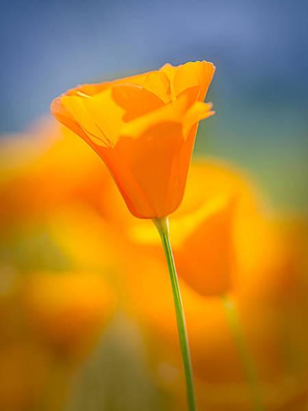 Figueroa Mountain Photograph - Pastel Poppy by James ODonnell