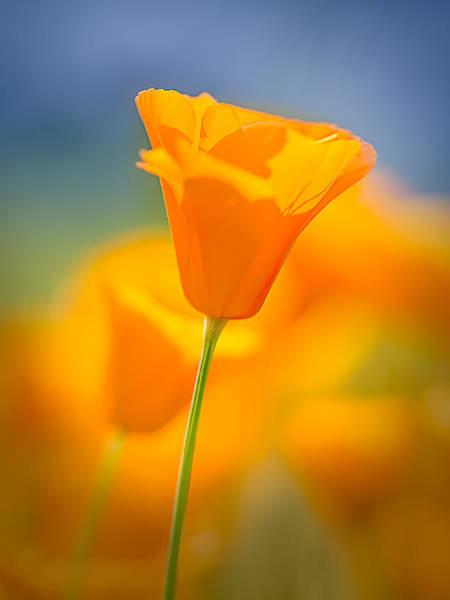 Figueroa Mountain Photograph - Pastel Poppy Reversed by James ODonnell