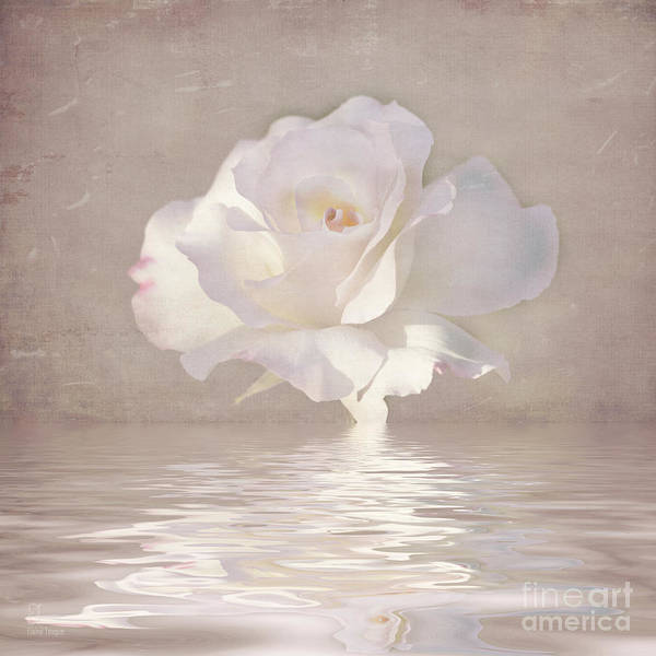 Photograph - Pastel Rose Reflections by Elaine Teague