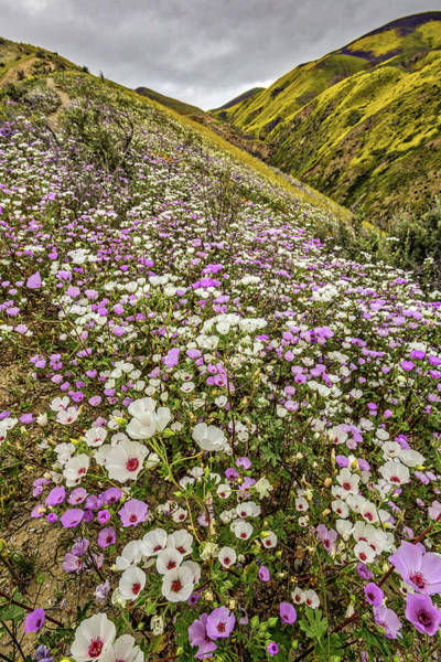 Photograph - Pastel Super Bloom by Peter Tellone