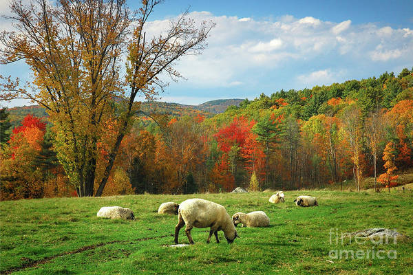 Wall Art - Photograph - Pasture - New England Fall Landscape Sheep by Jon Holiday