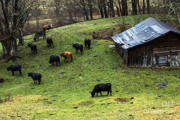 Photograph - Pasture Field And Cattle by Thomas R Fletcher