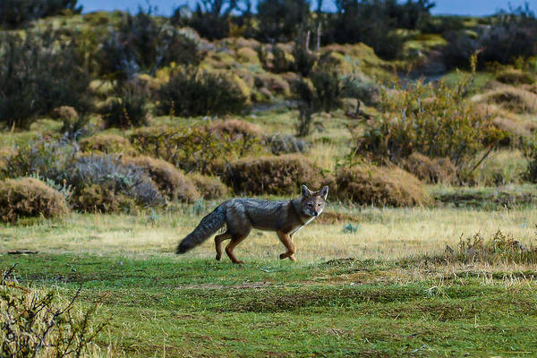 Photograph - Patagonia Fox by Walt Sterneman