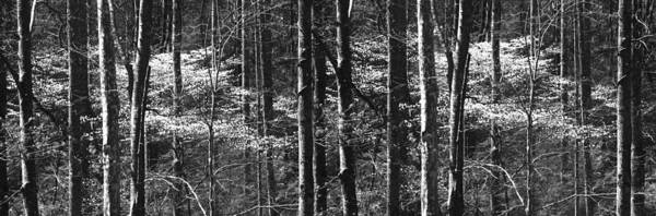 Photograph - Patchwork Dogwood Panorama Bw by Jim Dollar