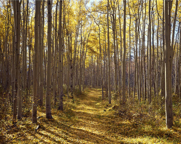 Photograph - Path In Aspens 1m3910-h by Ed  Cooper Photography