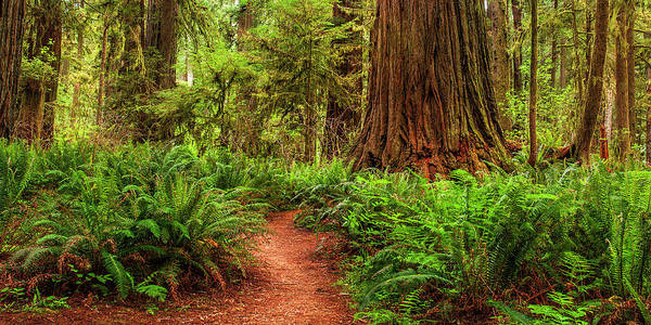 Northern California Photograph - Path To The Redwoods by Andrew Soundarajan
