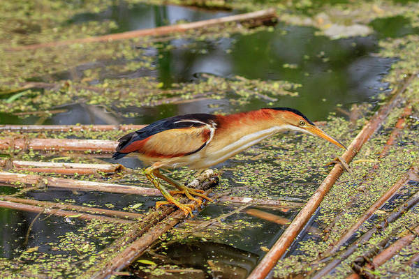 Ixobrychus Photograph - Patience by Gary Hall