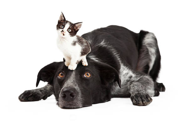 Collie Photograph - Patient Border Collie With Little Kitten On Head by Susan Schmitz