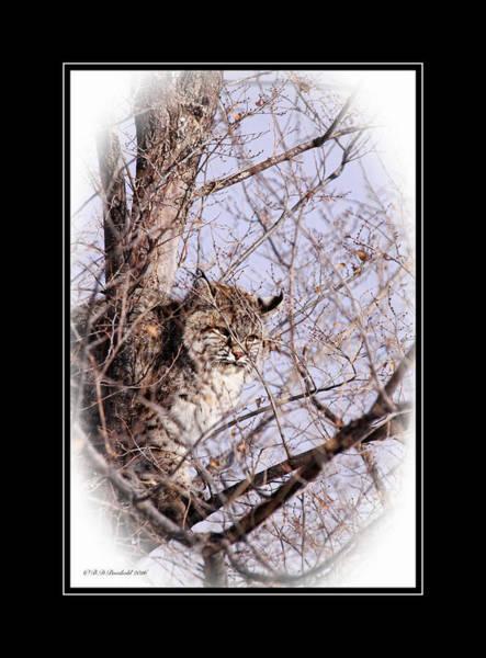 Wall Art - Photograph - Patient Winter Bobcat  by Brenda D Busskohl