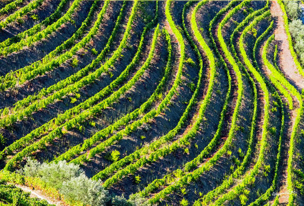 Wall Art - Photograph - Pattern Of Portugal Vineyard by Madeline Ellis
