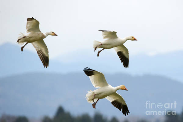 Snow Goose Photograph - Pattern Of Three by Mike Dawson