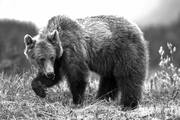 Photograph - Pawing Through The Grass Black And White by Adam Jewell
