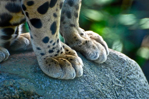 Cougar Photograph - Paws For Effect by Gene Sizemore