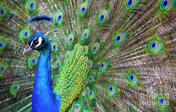 Photograph - Peacock by Debra Fedchin