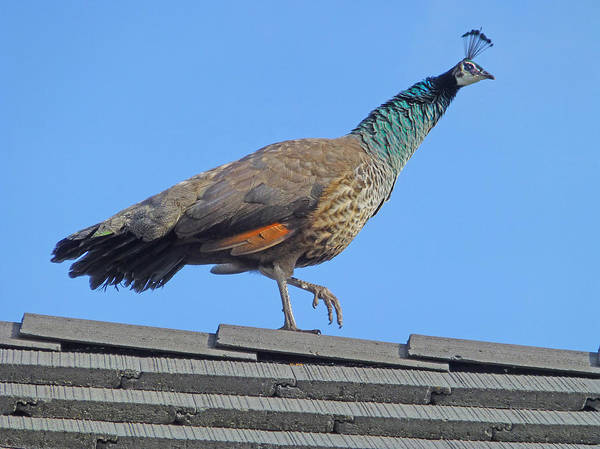 Photograph - D3b6396-pea Hen On Our Roof  by Ed  Cooper Photography