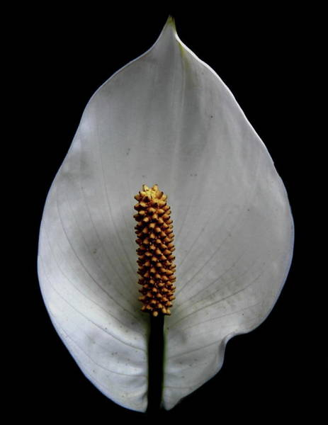 Photograph - Peace Lily by Allen Nice-Webb