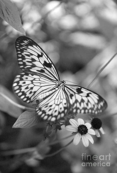 Photograph - Peaceful Butterfly - Black And White by Carol Groenen