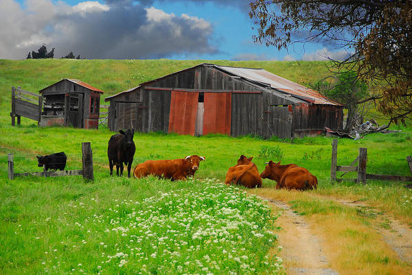 Photograph - Peaceful Cows by Harry Spitz
