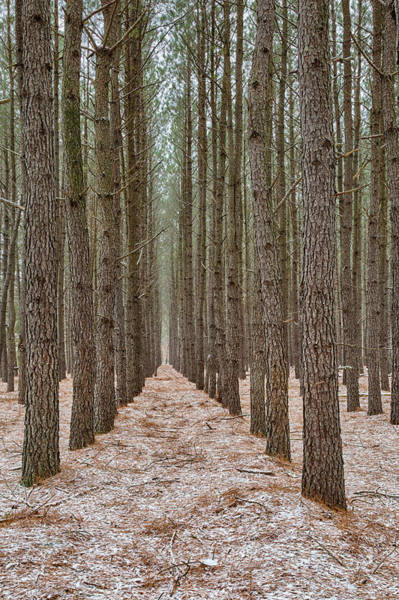 Photograph - Peaceful Pines by Denise Bush