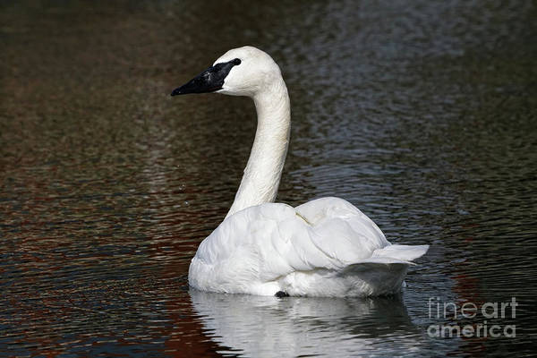 Photograph - Peaceful Swan by Sue Harper