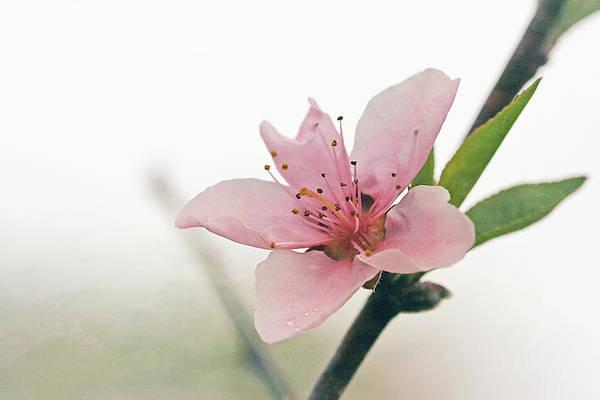 Fruit Tree Photograph - Peach Blossom by Cindi Ressler
