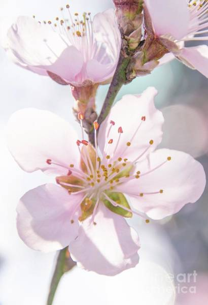 Photograph - Peach Blossoms 4 by Andrea Anderegg
