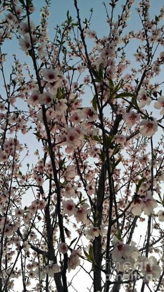 Photograph - Peach Blossoms by Diamante Lavendar