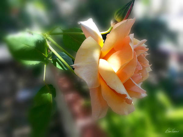 Photograph - Peach Colored Rose by Diana Haronis
