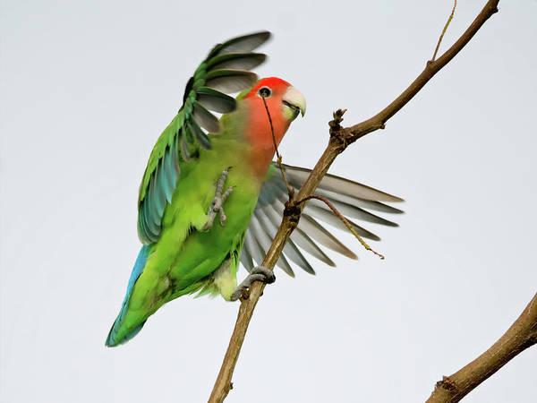 Photograph - Peach-faced Lovebird by Tam Ryan