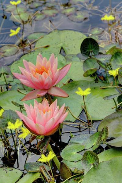Photograph - Peach Lily by Ree Reid