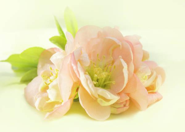 Wall Art - Photograph - Peach Quince Blossom by Iris Richardson