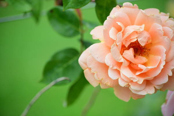 Wall Art - Photograph - Peach Rose by Bonnie Bruno