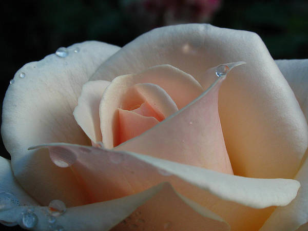 Photograph - Peach Rose by Juergen Roth