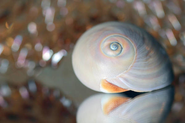 Photograph - Peach Seashell by Angela Murdock