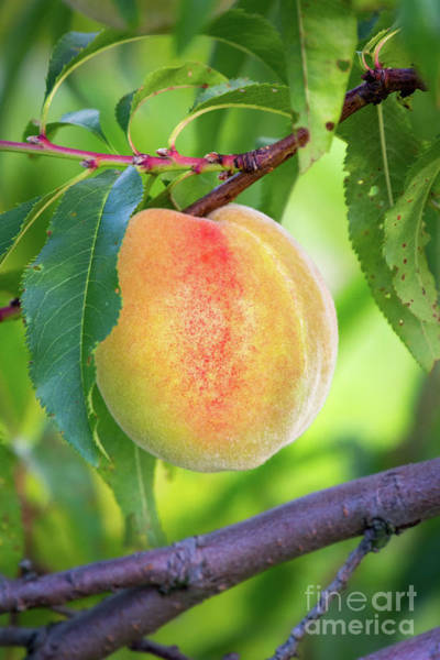 Photograph - Peach, Thompson's Orchard, New Gloucester, Maine #50014 by John Bald