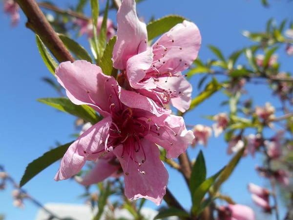 Peach Tree Blossom Pink Flower Art Print