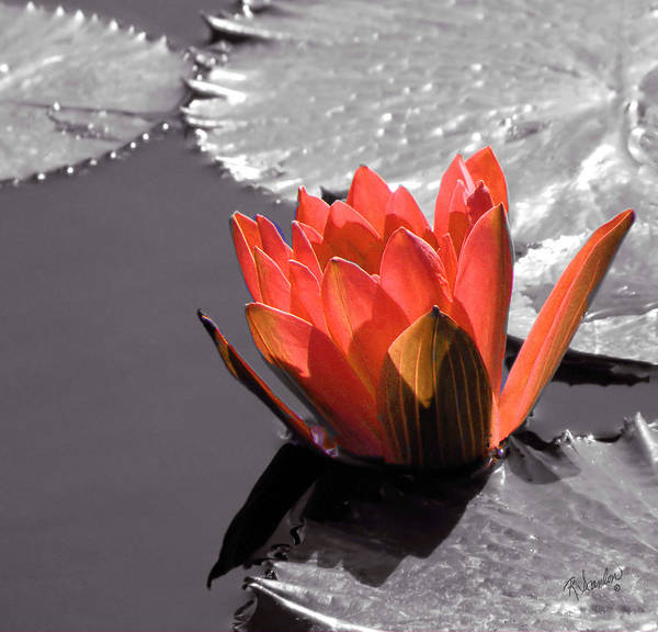 Photograph - Peach Water Lily Selective Color by Rosalie Scanlon