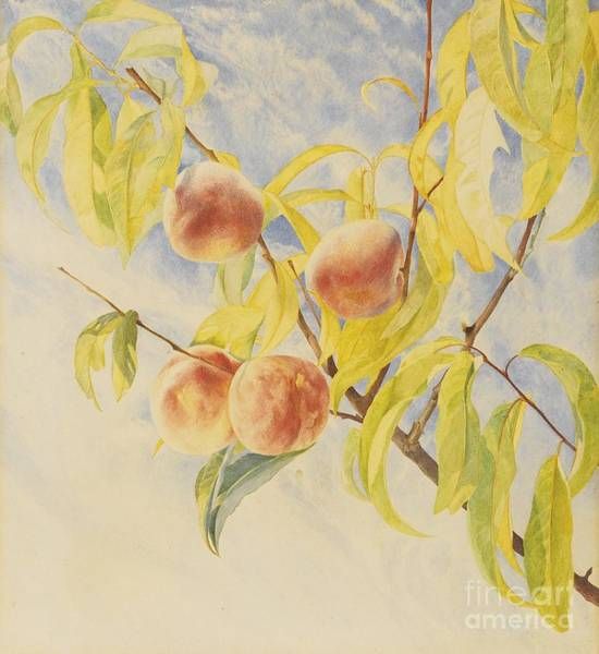 Roderick Painting - Peaches by Celestial Images