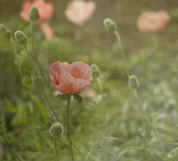 Oriental Photograph - Peachy Poppies by Rebecca Cozart