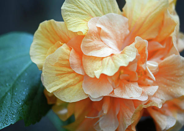 Photograph - Peachy Yellow. Ruffled Hibiscus Macro by Connie Fox