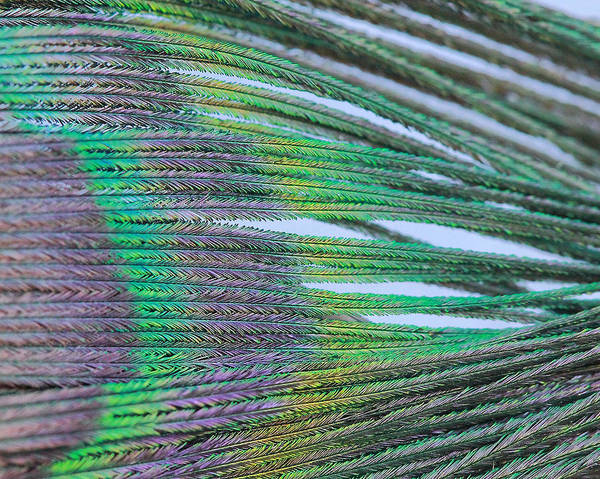Photograph - Peacock Abstract by Angela Murdock