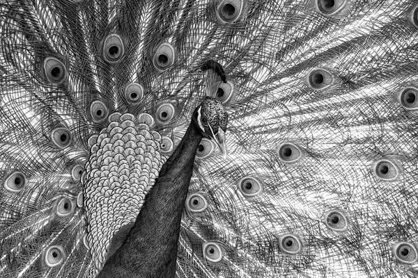 Photograph - Peacock Blacks by Alice Gipson
